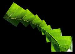 Macaranga tanarius (YAZMDG (15,000 images)) Tags: plants green leaves collage forest nsw photomontage feuilles yaz euphorbiaceae hinterland macaranga tanarius nswrfp yazminamicheledegaye northernriversspecies yazmdg