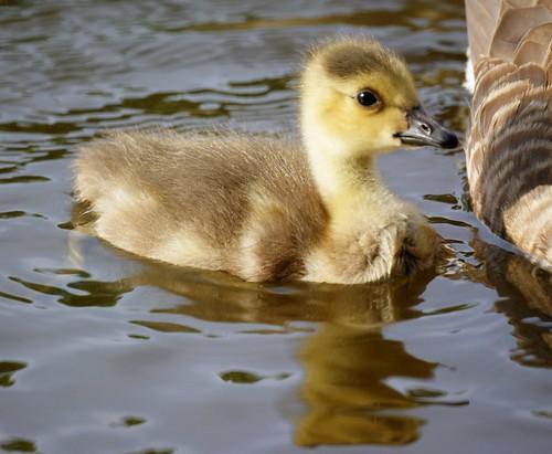 Goose Baby