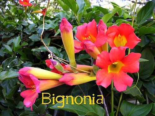 Red Bignonia