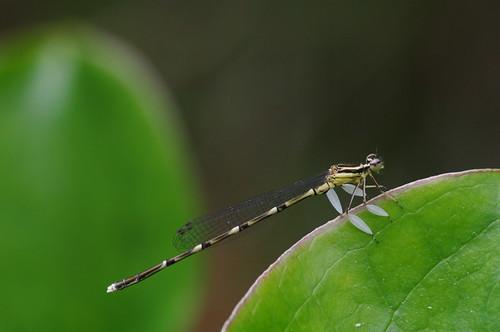 Platycnemis foliacea sasakii, male