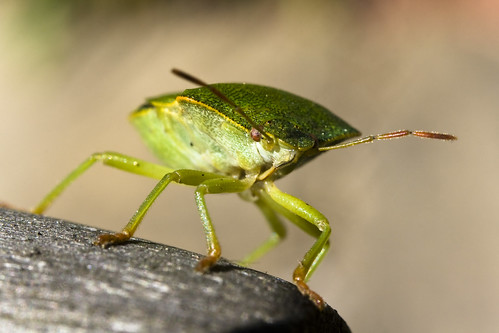 Shield Bug Front