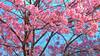 Tokyo Cherry Blossoms (RyanMussbacher) Tags: travel pink flowers blue tree cute japan japanese tokyo spring colorful asia panasonic handheld cherryblossoms 20mm hdr uenopark 2010 gf1 5xp handheldhdr japanhdr 5xphdr hdrjapan tokyohdr panasonicgf1 lumixdmcgf1