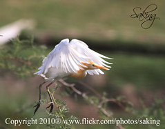 Taking the step (Saking--ON OFF) Tags: green nature yellow start canon kingdom stealth egret whiter 500d saqib saking concordians kingloi stunningwisdom