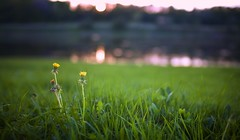 Evening landscape with dandelions close near the river (czdistagon.com) Tags: light sunset summer flower macro water zeiss river landscape evening flora dof bokeh sommer explore contax cz volga 3514 distagon carlzzeiss aleksandrmatveev czcontaxdistagon3514  czdistagon czdistagoncom