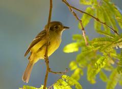 Cabeudo (Sepia-capped Flycatcher) (Bertrando) Tags: nature birds wildlife natureza aves pssaros cabeudo specanimal sepiacappedflycatcher leptopogonamaurocephalus