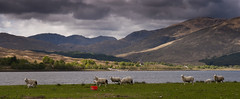 Loch Eil (Joe Dunckley) Tags: uk mountains landscape scotland highlands sheep lakes lochs lochaber locheil westhighlands