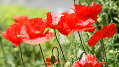 DSC02843-1 (Pitzy's Pyx, keep snapping away!.) Tags: poppies mygarden flamingjune