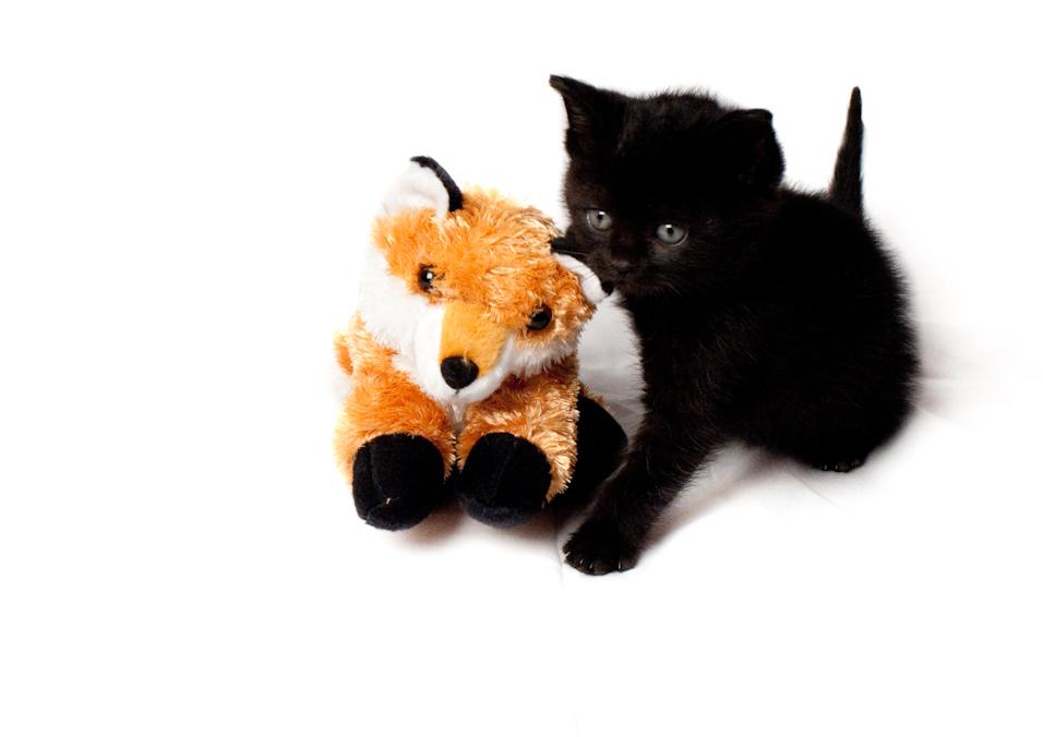 Fox Foster Kitten