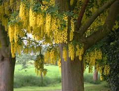 Laburnum curtain, near Wixford, Warwickshire (alanhitchcock49) Tags: warwickshire wixford laburnums