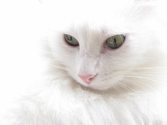 White, whiter, whitest (BlueRidgeKitties) Tags: pink pet white cat kimba cc800 canonpowershotsx10is