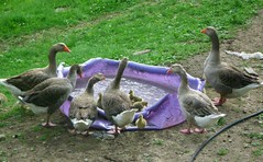 Goslings go swimming