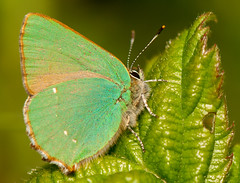 Green Hairstreak (Durotriges) Tags: uk england macro green closeup butterfly insect island coast flying nikon britain south lepidoptera micro isleofwight hairstreak photoshopelements d300 105mm greenhairstreak durotriges davidmsnelling
