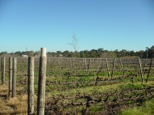 Perth - Swan Valley - empty vines