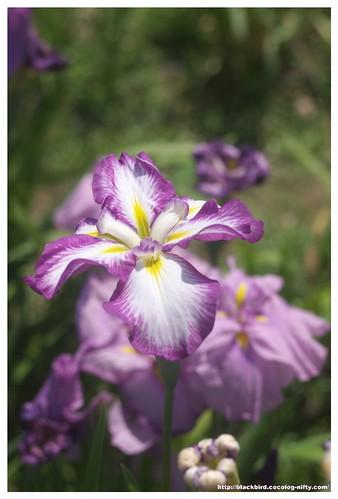 Jpapanese Iris 100609 #01