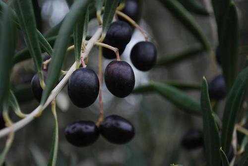 Black olives - Kyneton Olives
