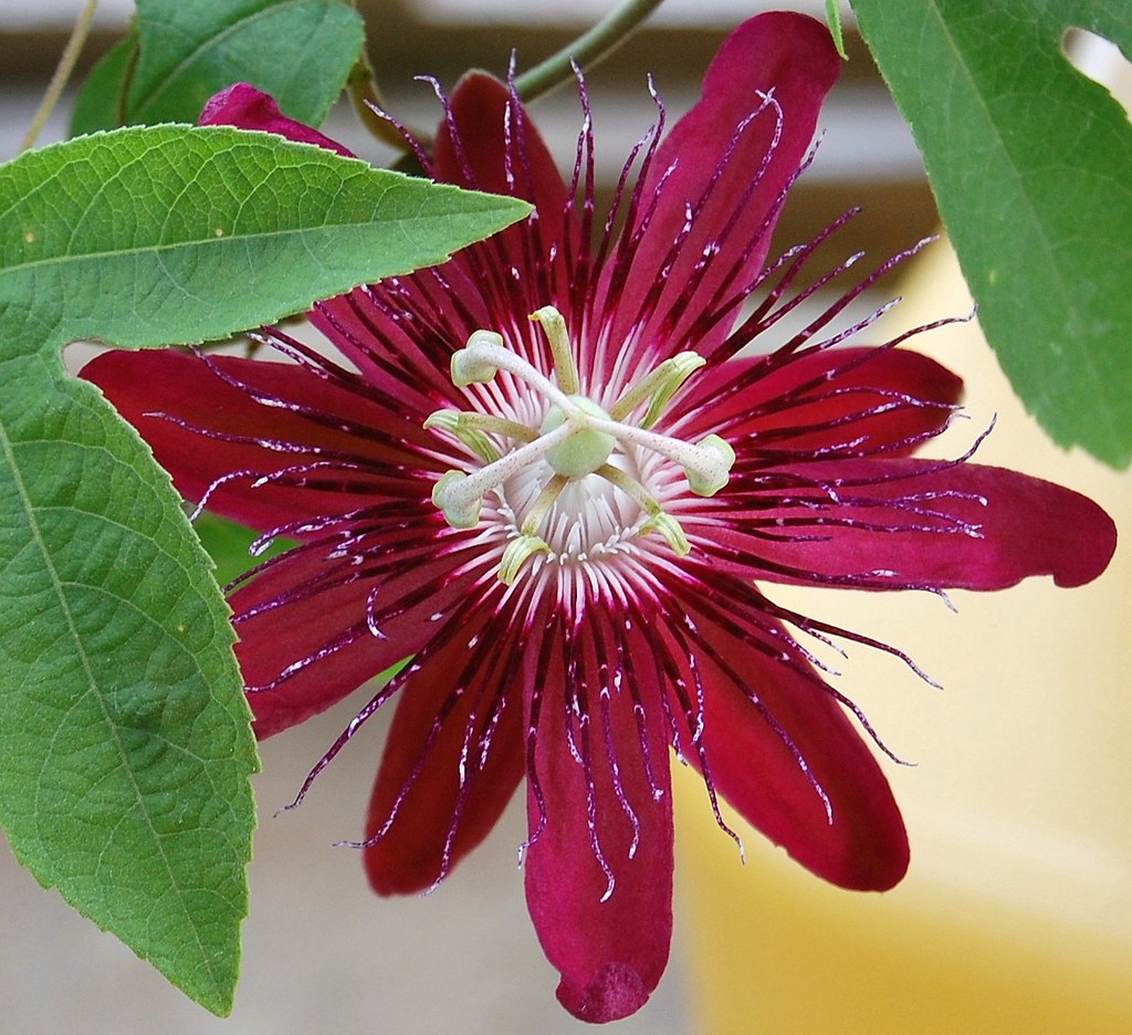"DSC 5748 - E   ""RED PASSION FLOWER"""