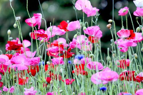 Happy Dancing Poppies