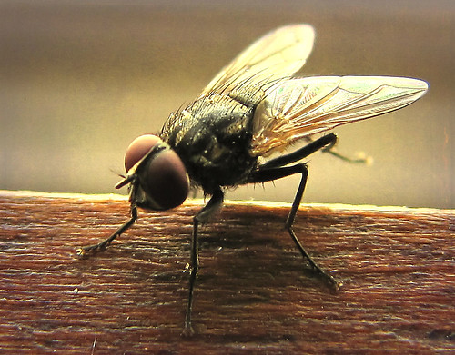 House fly, kinda pretty in an ugly way!