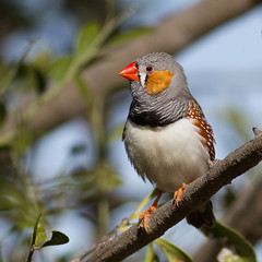 Zebra Finch (Male) (petefeats) Tags: nature birds australia queensland inglewood zebrafinch australianbirds passeriformes estrildidae taeniopygiaguttata coolmundadam