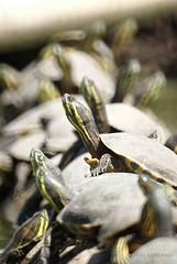reunion (manuel santiago) Tags: verde reunion animal mexico desenfoque animales veracruz tortuga tortugas brillo cuello enfoque caparazon cascaron flickrestrellas manuelsantiago