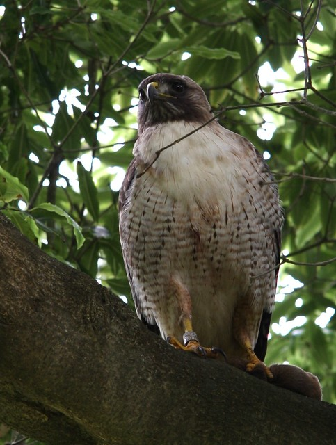 Some kind of Hawk?