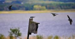 Dive Bombers (Bill Maksim Photography) Tags: house lake nature birds fly flying wings flight wing beak birdhouse diving hike raptor mating pymatuning beaks maksim linesville