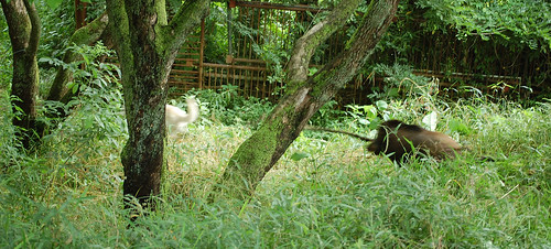 Boar Chasing Kishu
