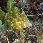 IMG_5376are Planehead Filefish (Stephanolepis hispidus) thumbnail