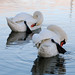 Swans, Two of a kind