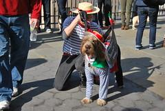 Gondola Dog (thoth1618) Tags: nyc newyorkcity costumes dog pet pets ny newyork halloween animal animals brooklyn costume october brooklynheights brooklynheightspromenade parade promenade gondola gothamist halloweenparade 2010 howloween brooklynpromenade brooklynny dogparade dogcostumes dogcostume dogincostume brooklynusa muttsquerade petsincostume dogincostumes brooklynheightsblog 103010 petincostume animalsincostumes animalincostume halloween2010 october302010 perfectpawsinc the8thannualhowloweenmuttsqueradeparade gondoladog