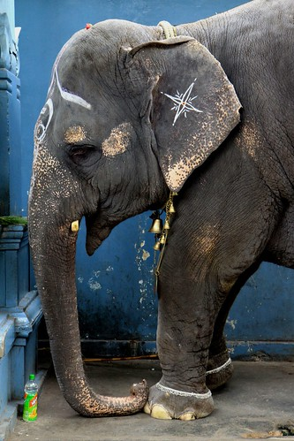 Lakshmi the temple elephant