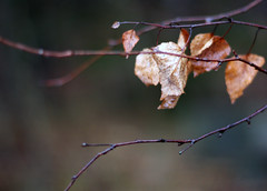 dead leaves, still hanging on for a while (rosipaw) Tags: bare deadleaves birch