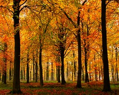 Forest Trees in Autumn (algo) Tags: autumn trees orange gold interestingness topf50 topv333 rust searchthebest explore trunk topv777 trunks algo topf100 frontpage 100f carpetofleaves 50f explore23