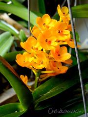 Ascocentrum miniatum 'Kai Gold'