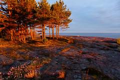 Sunset light (evisdotter) Tags: sunsetlight evening seascape landscape sea cliffs trees flowers hammarudda åland