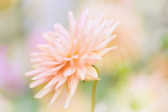 All I Want (Anna Kwa) Tags: dahlia flower macro bokeh asteraceae gbb annakwa nikon d750 afsvrmicronikko105mmf28gifed my heart always thought want need seeing soul throughmylens alliwant memories fate destiny lost elliegoulding wmh goodbye