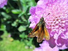 Large Skipper Butterfly (seanwalsh4) Tags: butterfly nature 7dwf tuesdaysmacroorcloseup largeskipperbutterfly ochlodesvenatus insect seanwalsh bristol happy nice colourful flap flutter bokeh macro fauna