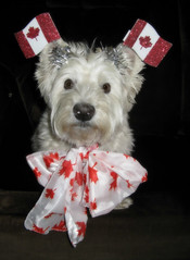 "6/12B ~ ""Riley, waiting to celebrate Canada's 150th Birthday!"" (ellenc995) Tags: riley westie westhighlandwhiteterrier canadaday birthday 150years 12monthsfordogs17 rubyphotographer thesunshinegroup coth fantasticnature alittlebeauty sunrays5 coth5 platinumheartaward thegalaxy supershot 100commentgroup abigfave ruby3 ruby10"