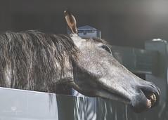 yay it's a long weekend (rockinmonique) Tags: juneflickrgalsmeetup fence horse light shadow smile eleven moniquew canon canont6s tamron copyright2017moniquew