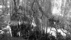 like a veil (FotoTrenz NRW) Tags: nature ufer tree baum schleier veil sw see wurzeln äste grau weis schwarz hell licht