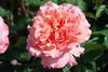 Mein Herz und Sinn den Herren hocherhebet (amras_de) Tags: rose rosen ruža rosa ruže rozo roos arrosa ruusut rós rózsa rože rozes rozen roser róza trandafir vrtnica rossläktet gül blüte blume flor cvijet kvet blomst flower floro õis lore kukka fleur bláth virág blóm fiore flos žiedas zieds bloem blome kwiat floare ciuri flouer cvet blomma çiçek