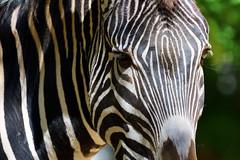 Zebra National Zoo D500 (SnyderPix) Tags: zoo zoophotography nikon nikkor d500 nikond500 200500mm 200500 washington washingtondc nationalzoo animals animal zebra zebras