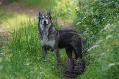 DSC01603 (Roman Filipkowski) Tags: wilk wolf mazury puszcza borecka las wald polska polen wildlife