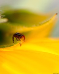 On the prowl . #sunflower #spider #jumpingspider #tiny #macro #rokkor50mm #olympusem5 #sunflower #insect #salticidae #glowing #yellow (JoeCow) Tags: ontheprowl spider olympusem5 rokkor50mm macrophotography macro micro sunflower jumpingspider salticidae insect