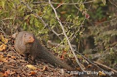 ADS_000007387 (dickysingh) Tags: wild india animal outdoor wildlife aditya mongoose ranthambore singh ranthambhore dicky adityasingh ranthamborebagh theranthambhorebagh ruddymongoose wwwranthambhorecom