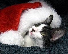 Lugosi, Tuxedo & Black Mask Boy Kitten under Big Santa Hat, Got Adopted Today (Pixel Packing Mama) Tags: lovely1 catsandkittensset capture heartlandhumanesociety pixelpackingmama dorothydelinaporter worldsfavorite views25pool montanathecat~fanclub 25views50pool reallyunlimited spcacatspool ceruleanthecat~fanclub blackmaskkittycatsset tuxedocatsset tuxedocatspool 2550viewspostupto5perdaypool tuxedokittiespool exclamationpointspool 125viewspostupto5perdaypool worldsfavoritepool hatsregrettableandotherwisepool allcatsallowedpool siamesecatsandtheirfelinebrotherspool furrycatfriendspool furryfuncutefunnyanimalspool views2650pool catloverspool furrificcatspool thecorvallisoregonyearspart8set uploadedsecondhalfof2009set canonallcanoniii~start070109set canonpowershota2000isset santapawsdressedpetspool christmastime2009set catsatchristmaspool favoritedpixfirsthalfof2010set special{petportraits}invitedphotossweeperactivep1c1pool celebrateourfurryfriendssweeperactivep1c2pool favup010110 15favwhenthereisroom pixelpackingmama~prayforkyronhorman christmascatskittensset oversixmillionaggregateviews over430000photostreamviews