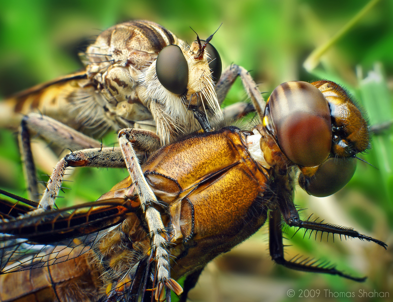 Bug close-up: Robber Fly with Dragonfly