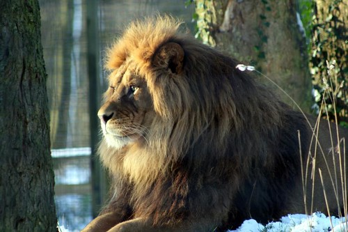 Barbary Lion by Ami 211 | Animals | Pinterest | Lions and Animal