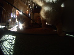 "Mustard and Custard the ""feral"" ginger kittens on GoPro cam. (Eleventh Earl) Tags: cats babies cam helmet kittens kitties mustard wee custard marmalade gingers gopro gdh30"