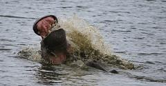 Hippos (cosmopolitan photography) Tags: nature animals wildlife hippos krugernationalpark africanwildlife cosmopolitanphotography